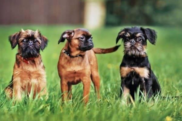 Подробное описание породы собак брюссельский гриффон