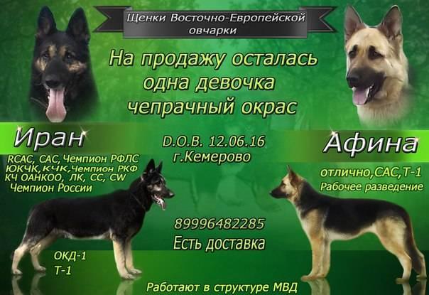 Восточноевропейская овчарка - характеристика собаки, дрессировка, выращивание щенков и рацион питания