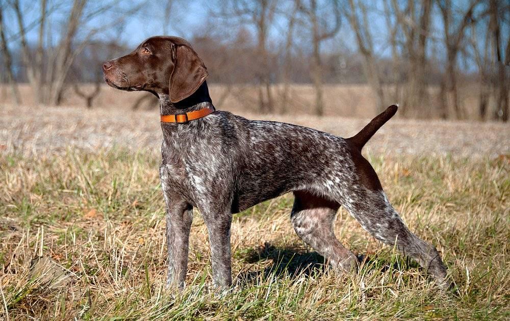 Обзор английских пород собак: история и внешность британских псов