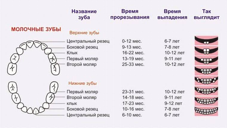 Смена зубов у шпица: когда молочные клыки и моляры выпадают у щенков померанского, немецкого и других видов