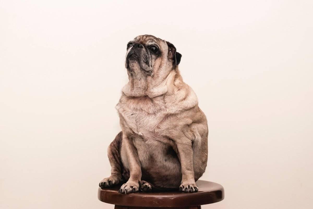 Самые неприхотливые в еде породы собак