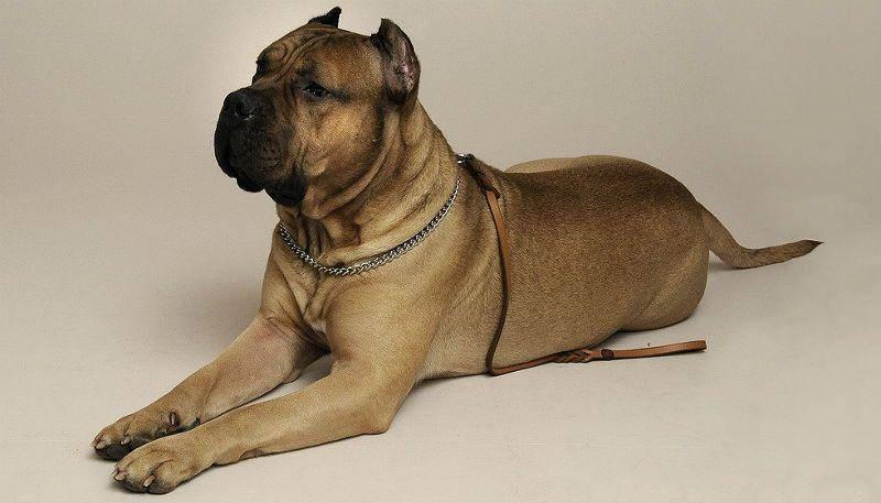 Собака канарский дог характеристика и описание породы * perro de presa canario