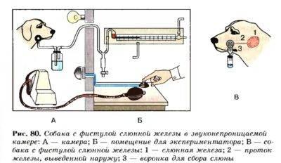 Условные и безусловные рефлексы. и.п. павлов