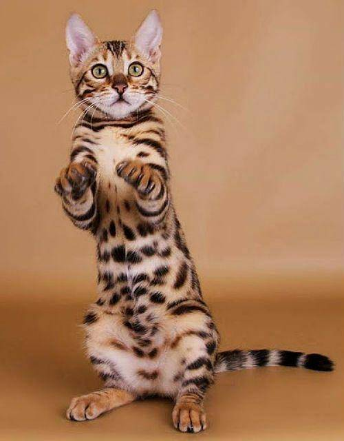 Характерные особенности бенгальской кошки: описание -видео +фото и видео