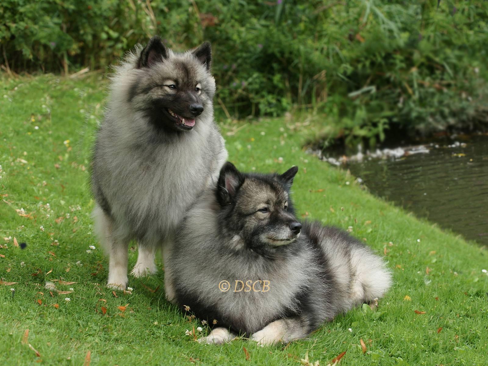 Кеесхонд (вольфшпиц): описание немецкой породы, внешний вид, характер, уход и содержание, фото собаки