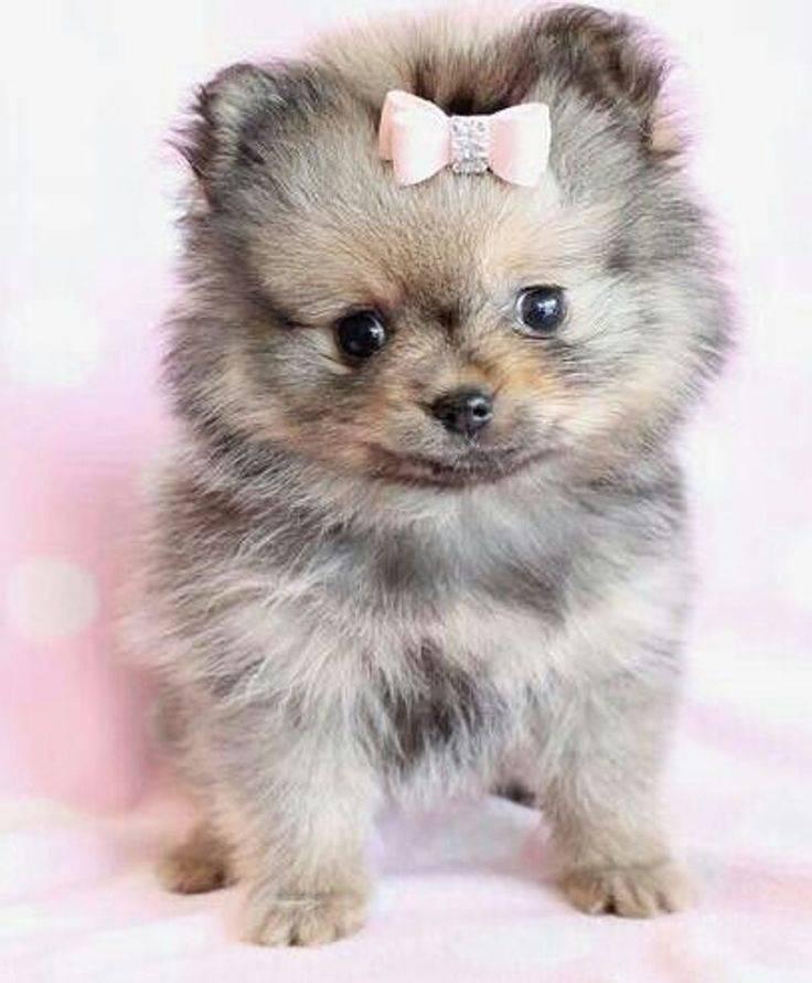 Длинношерстные маленькие собаки – породы с фото