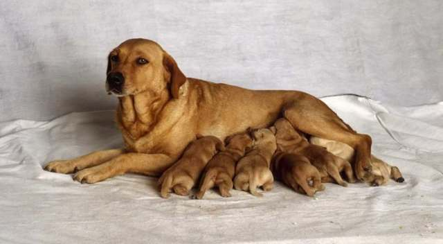 Чем кормить собаку после родов.
