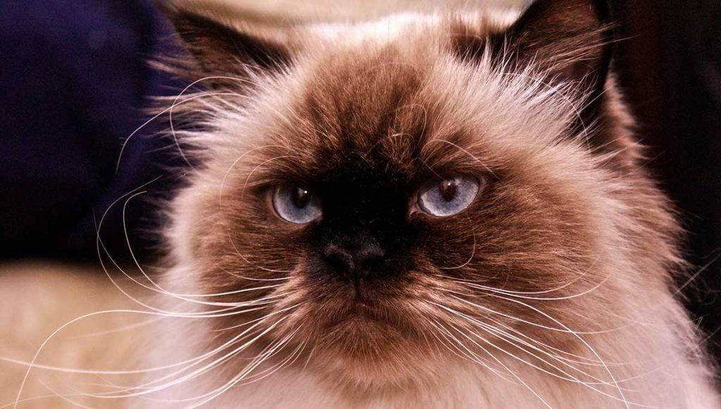 История появления и описание кошек гималайской породы, основы ухода за ними