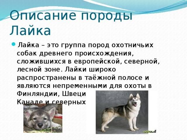 Восточно-сибирская лайка: содержание и фото щенков