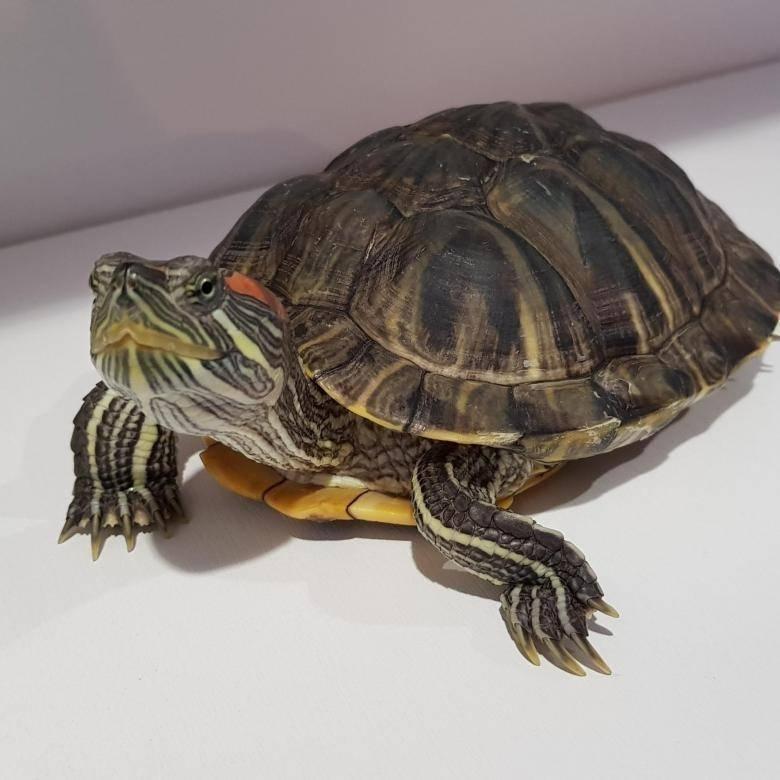 Сколько живут красноухие черепахи. продолжительность жизни