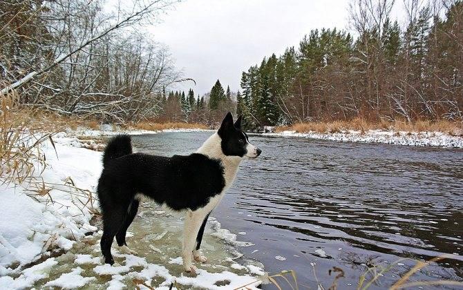 Восточно-сибирская лайка: все о собаке, фото, описание породы, характер, цена