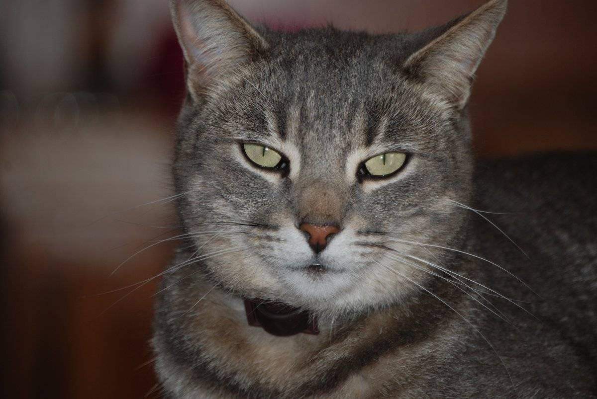 Привычки кошек, которые воспитывают сами хозяева   klevo.net