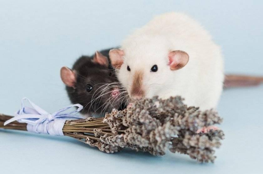 Декоративная крыса: описание, виды и содержание в домашних условиях