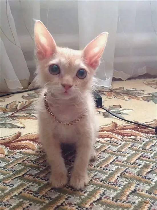 Сфинкс (52 фото): разновидности котов породы сфинкс. особенности характера египетского, донского и других видов. тонкости ухода за ними. отзывы владельцев