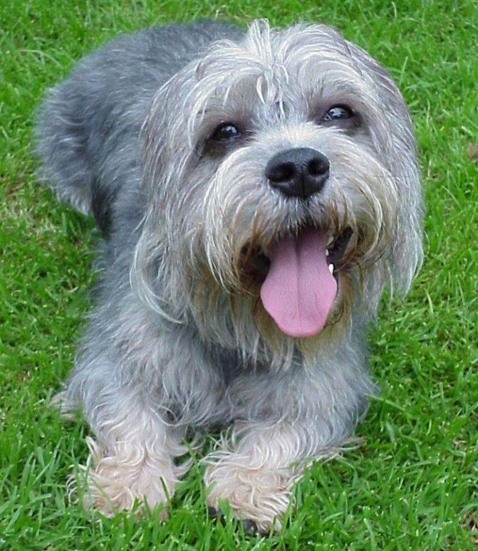 Денди динмонт терьер: 90 фото и видео примеры содержания собаки в домашних условиях