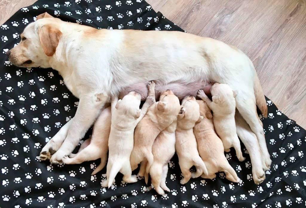 Ложная беременность (щенность) у собак: что делать, симптомы и лечение