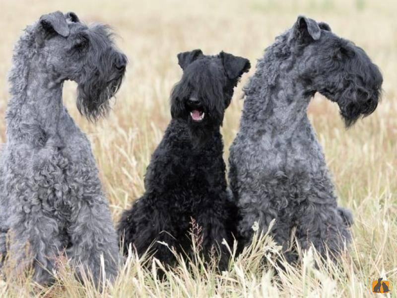Особенности породы керри-блю-терьер, содержание собаки и отзывы хозяев