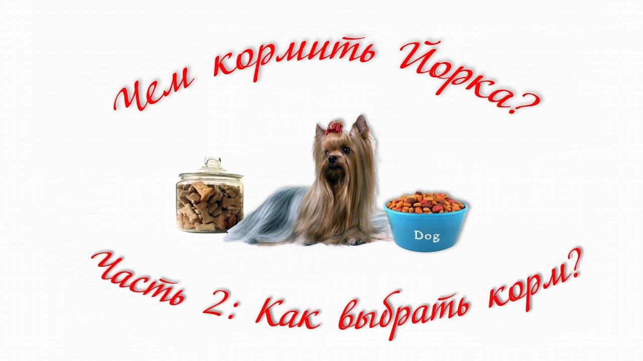 Как и чем кормить щенка йоркширского терьера: с рождения и до года, натуральное меню или готовые корма, витамины и добавки