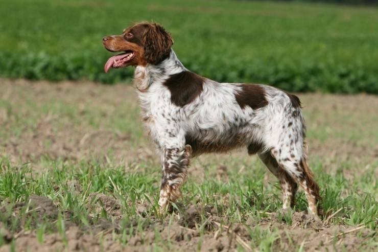 Эпаньоль собака. описание, особенности, цена и уход за эпаньолем   животный мир