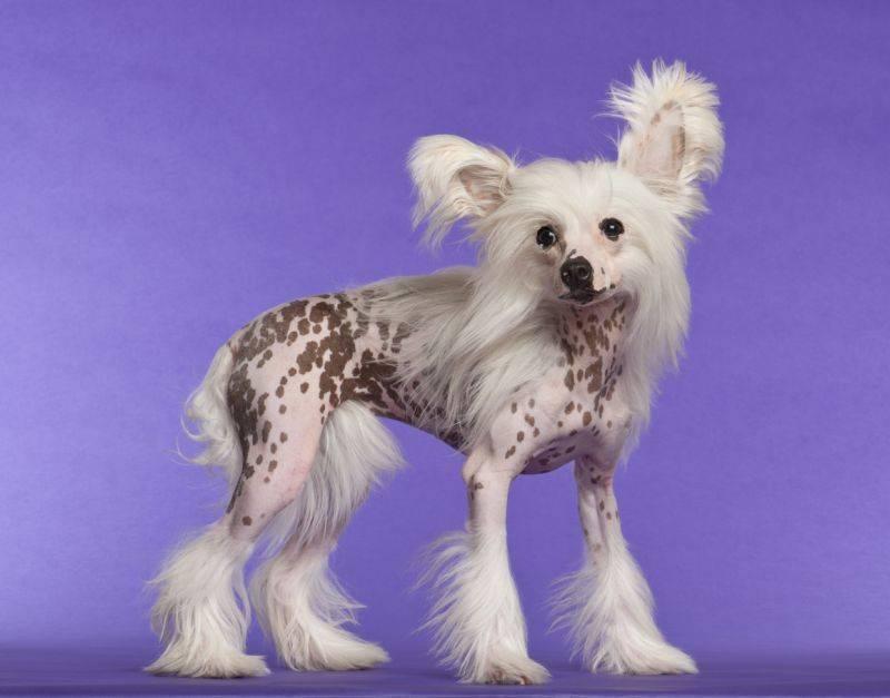 Гипоаллергенные породы собак ? топ-30 собак для аллергиков и астматиков | petguru