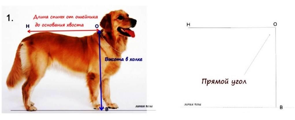 Где находится холка у собаки и как измерить питомца по холке – фото