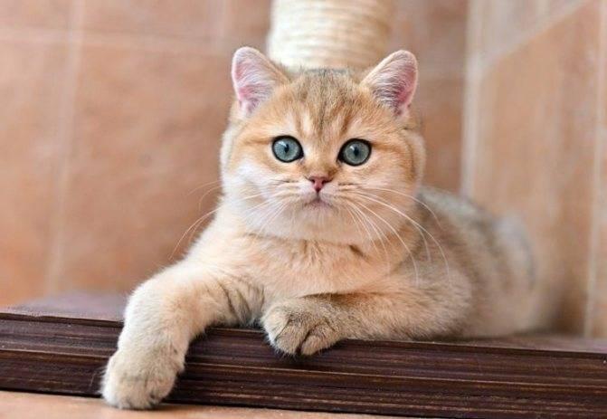 Кошки британские шиншиллы: описание породы, характер, особенности ухода, история