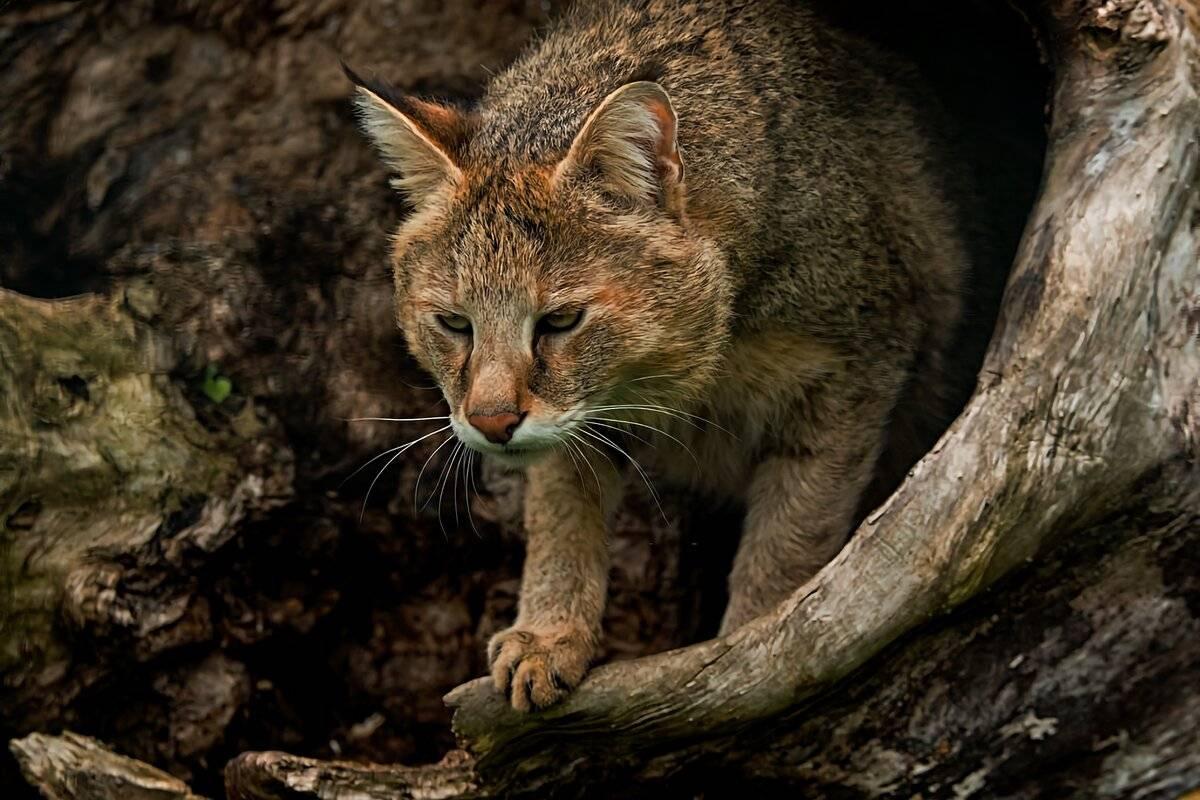 Своенравный и грациозный камышовый кот — 4 лапки