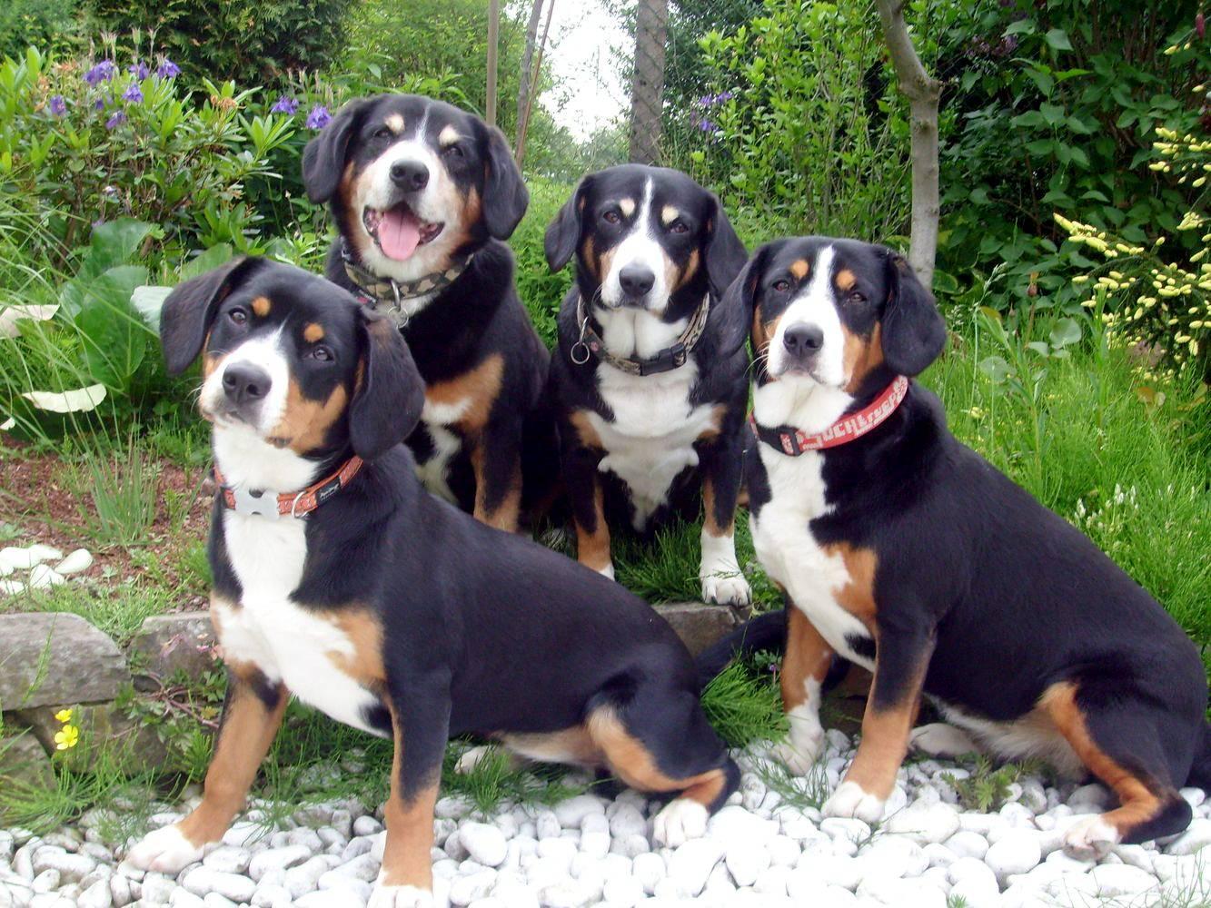 Описание породы собак аппенцеллер зенненхунд с отзывами владельцев и фото