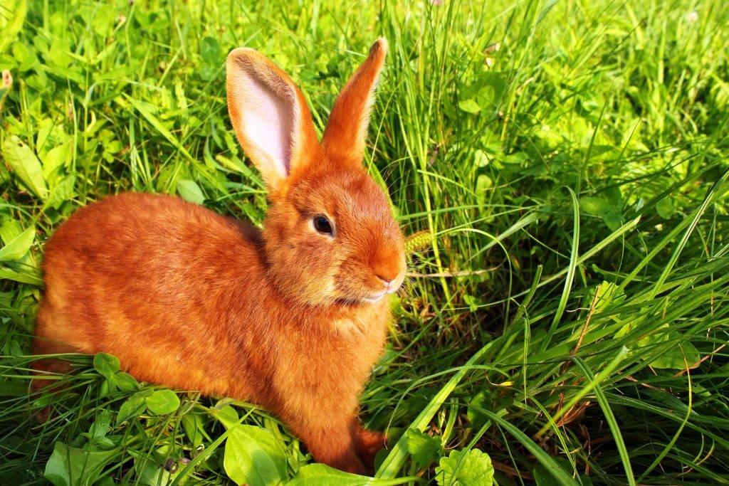 Кролики бургундской породы: описание и особенности содержания