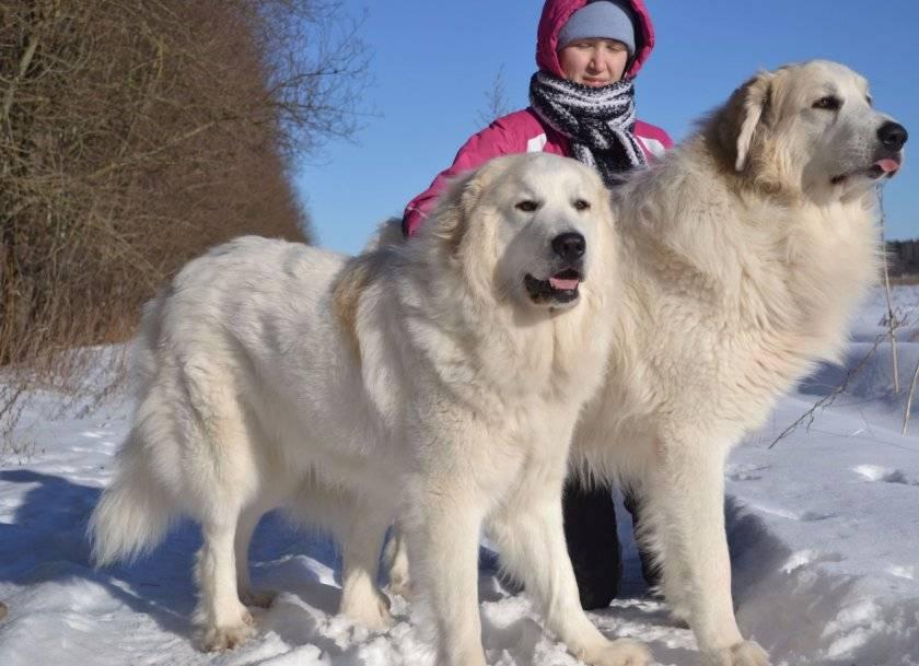 Пиренейская горная собака (45 фото): описание больших собак, размеры щенков пиренейской породы. варианты окраса
