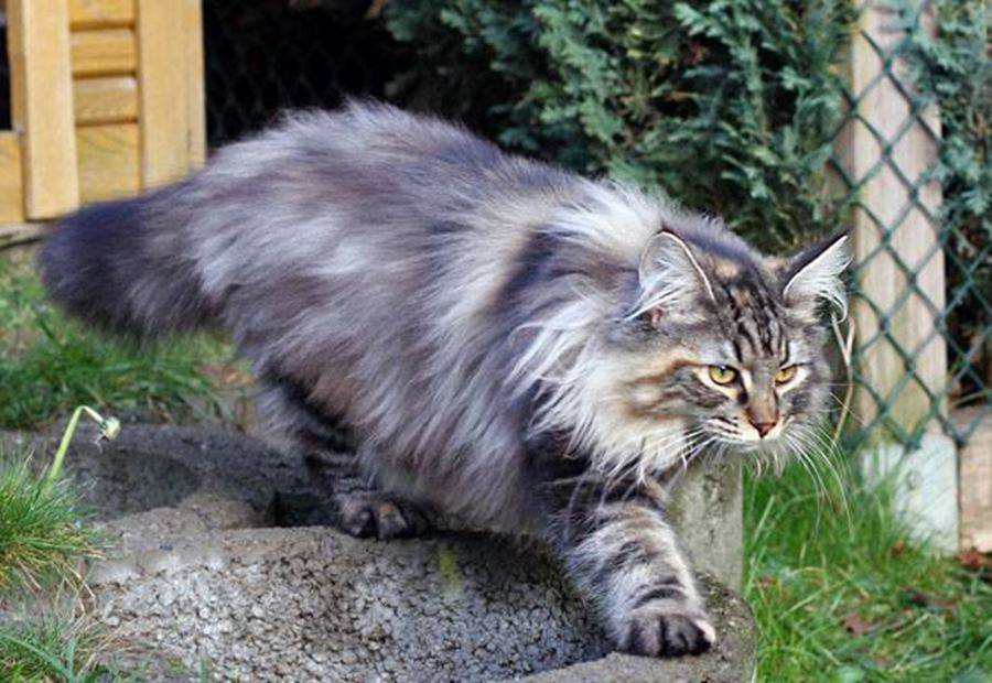 Норвежский лесной кот: описание породы, характер, уход и содержание