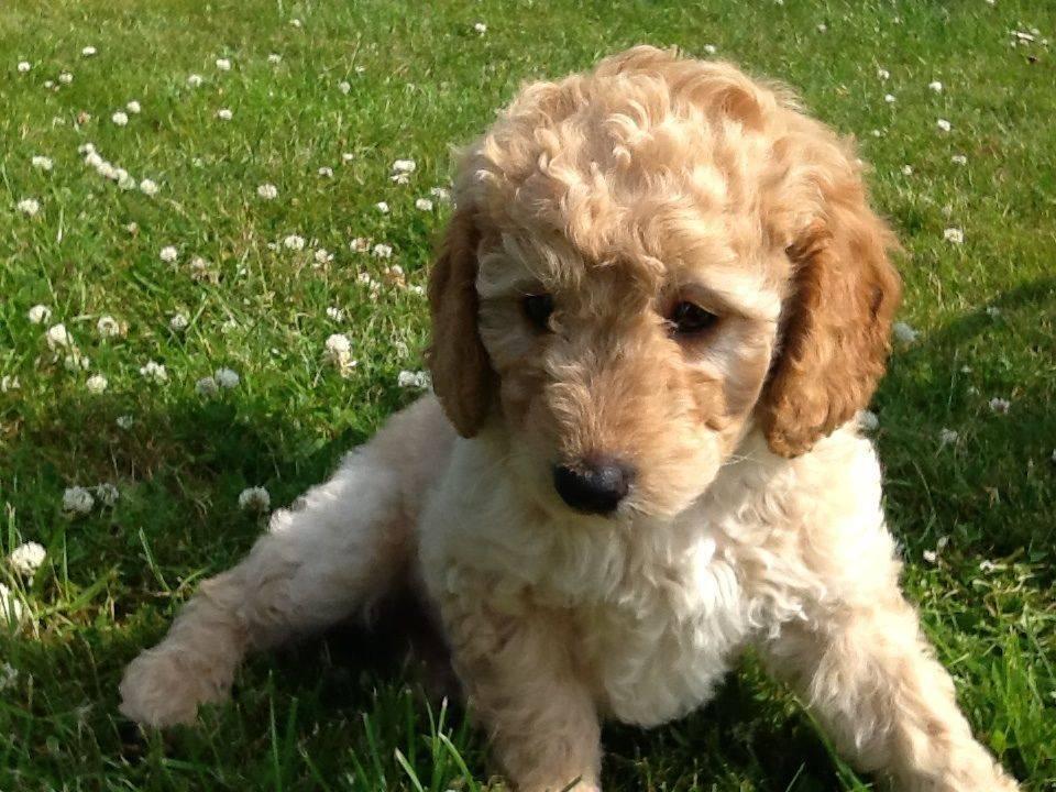 Лабрадудель собака. описание, особенности, виды, уход и цена породы лабрадудель | животный мир