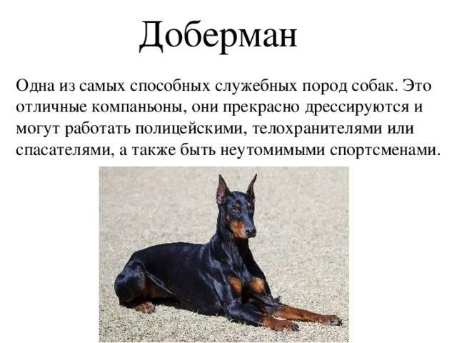 Московский дракон: характеристика и описание породы собак, содержание и уход, разведение