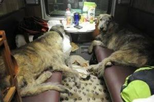 Правила и нюансы перевозки собак в поезде по стране