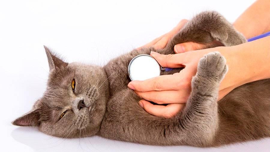 Кот чихает: что делать и как диагностировать?