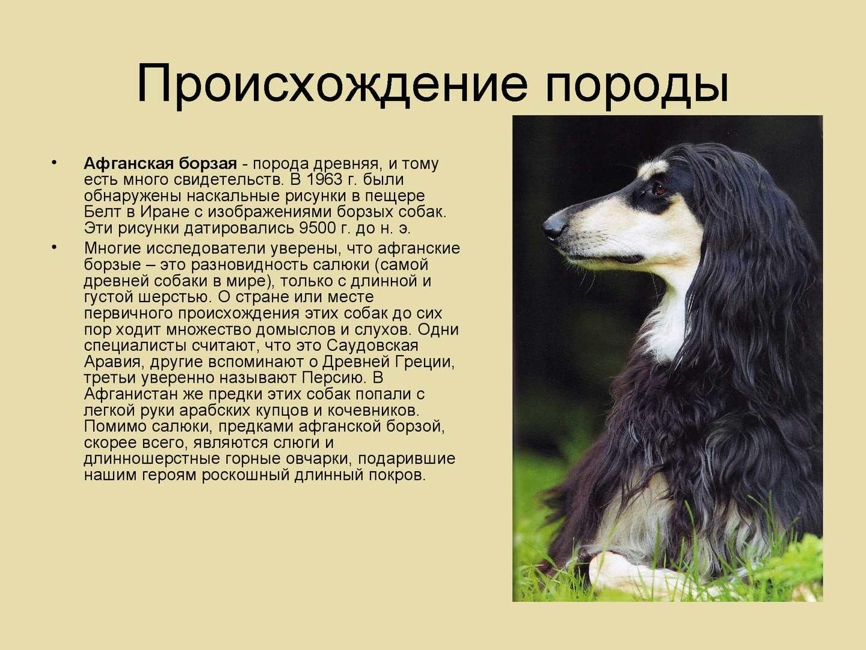 Содержание, уход и дрессировка собаки породы афганская борзая