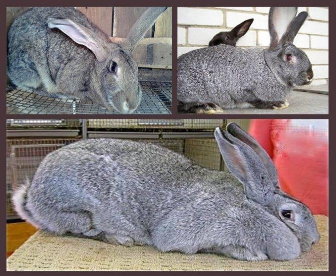 Кролик великан — основные породы, разведение, выращивание, кормление, клетки