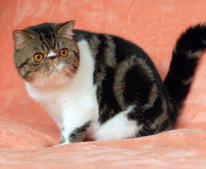Экзотическая кошка: всё о породе