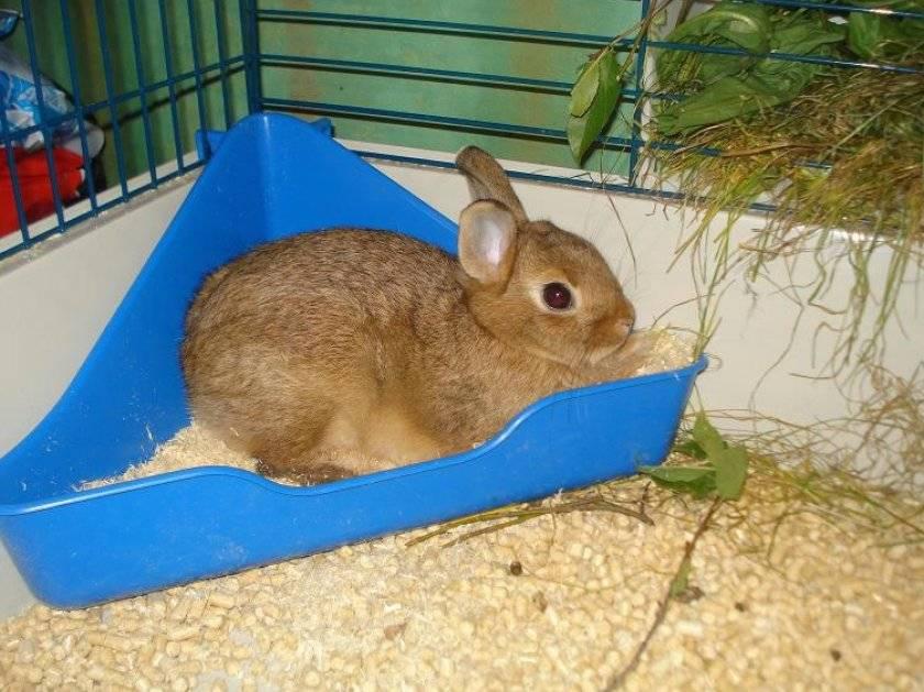 Туалет для кролика: приучаем ходить в лоток