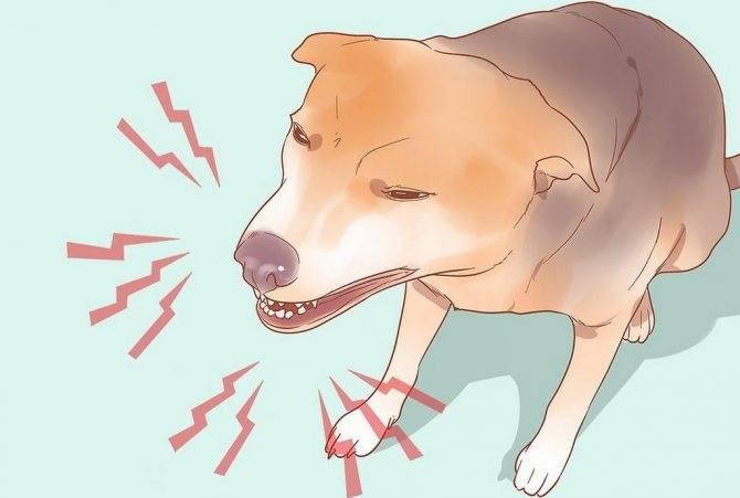 Кашель у собак: причины, симптомы и лечение, почему кашляет как будто подавилась, что делать в домашних условиях, если часто дышит, хрипит и срыгивает