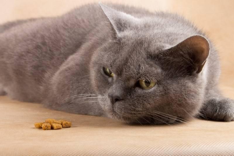 Почему кошка отказывается от еды и питья несколько дней?