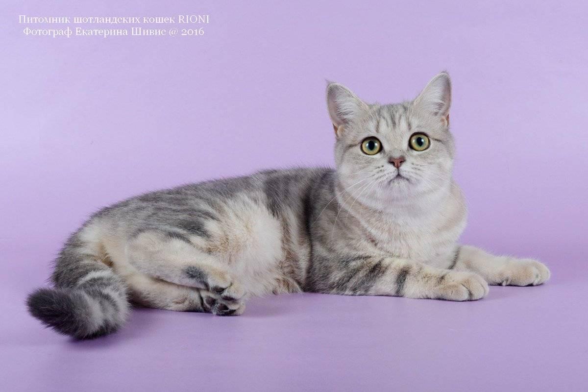Шотландская кошка скоттиш страйт и скоттиш фолд: особенности содержания и ухода за котами