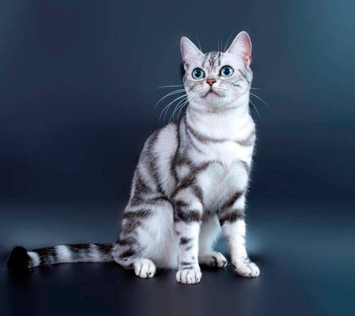 Американская короткошерстная кошка: описание породы, характер, уход, содержание и кормление