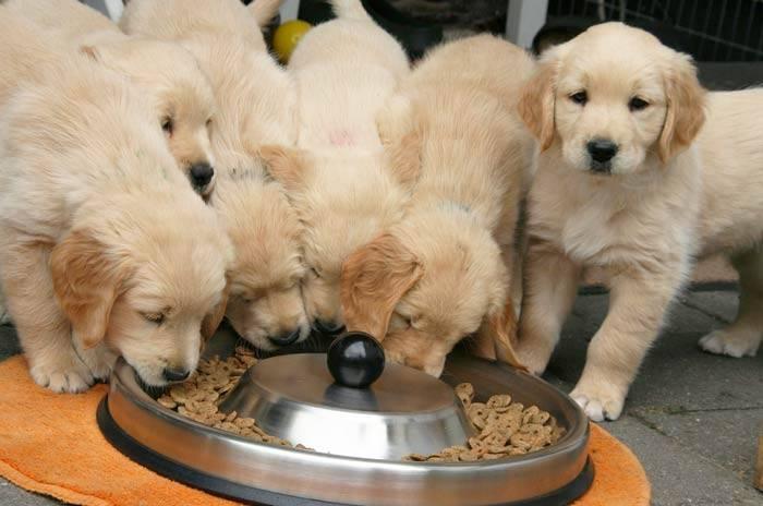 Чем и как кормить щенка лабрадора в домашних условиях до одного месяца — рекомендации диеты и питания