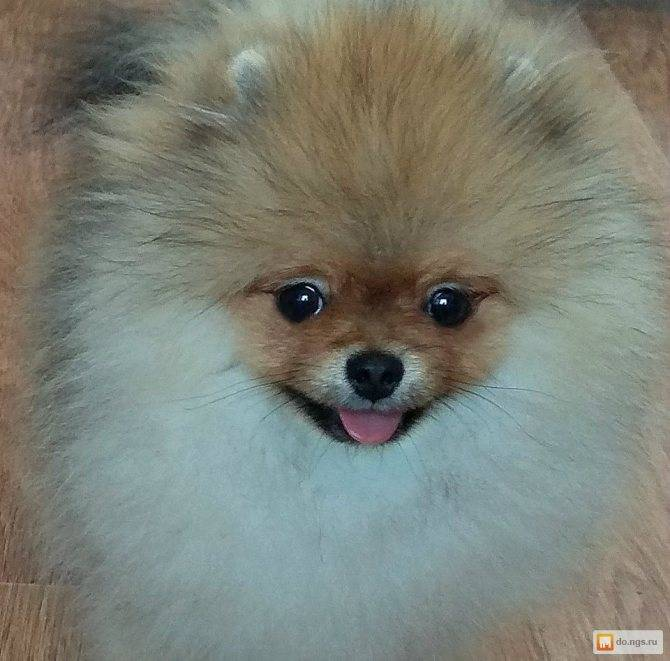 Клички для собак-девочек маленьких пород: прикольные и красивые имена, которыми можно назвать девочек-щенков мелких пород