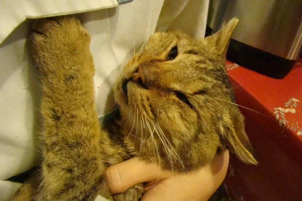 Инсульт у кошки: симптомы, что делать, лечение, причины | zoosecrets