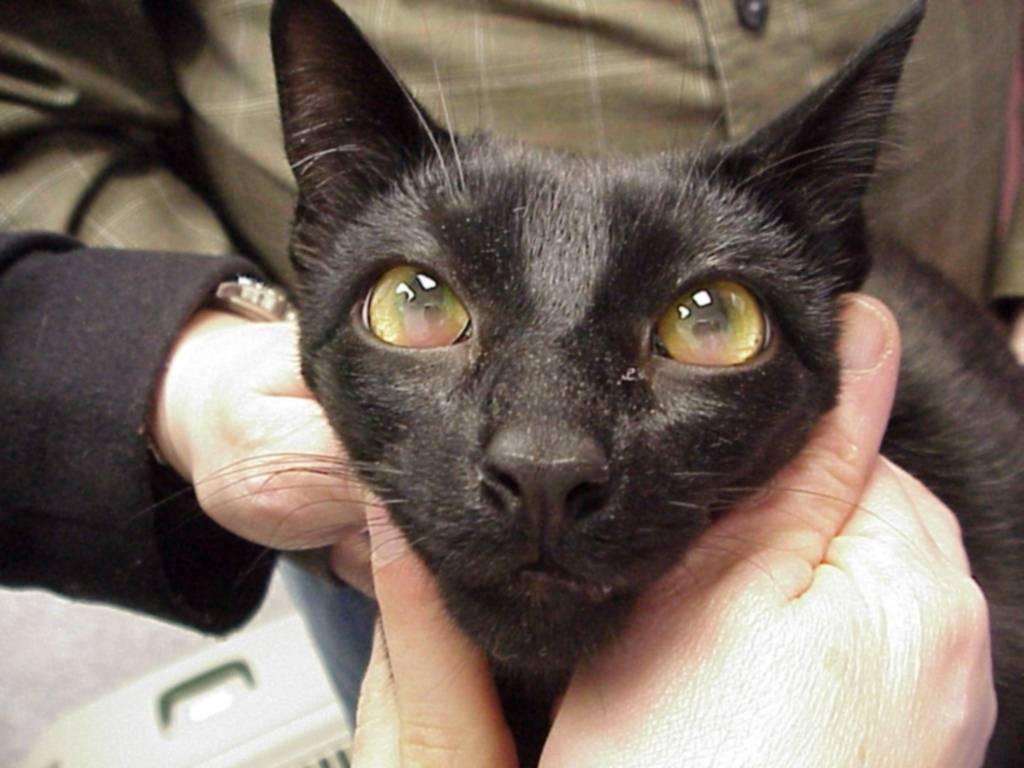 Токсоплазмоз у кошек: симптомы и лечение, фото