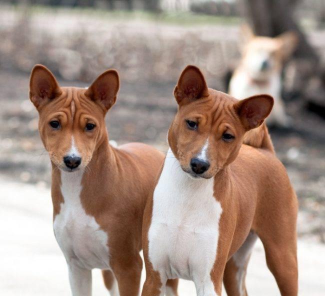Топ-10 собак которые не линяют и не пахнут псиной