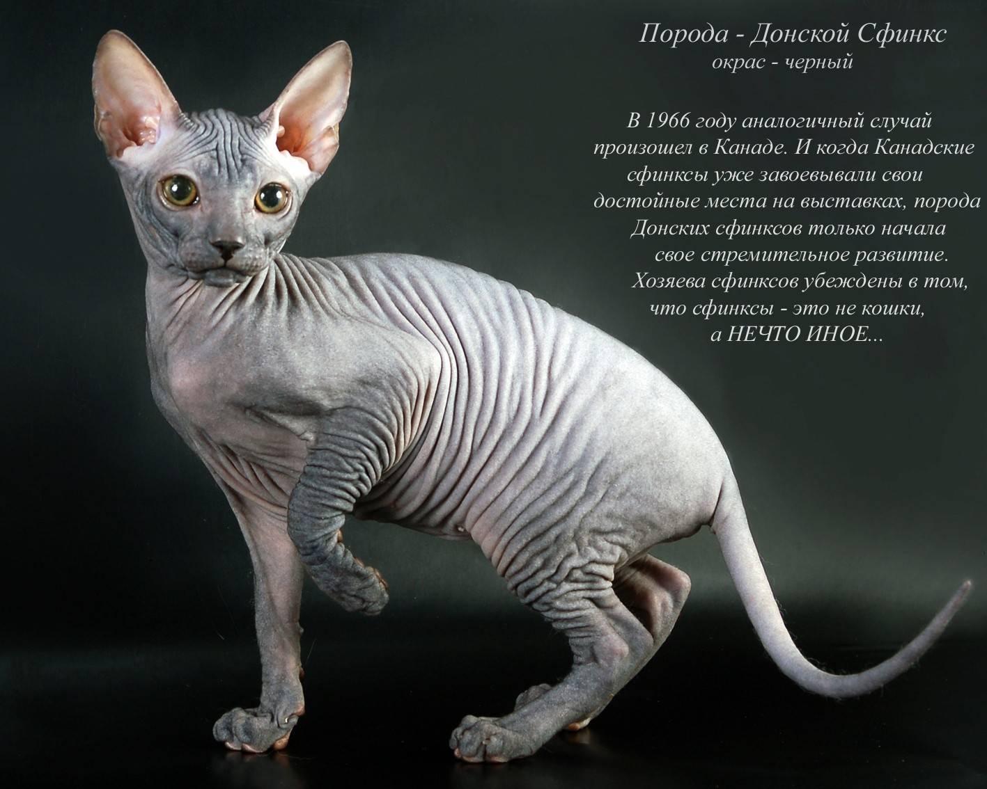 Сколько стоит кошка сфинкс в россии в рублях