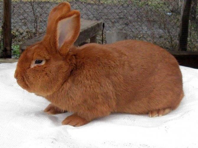 Бургундская порода кроликов - описание и фото